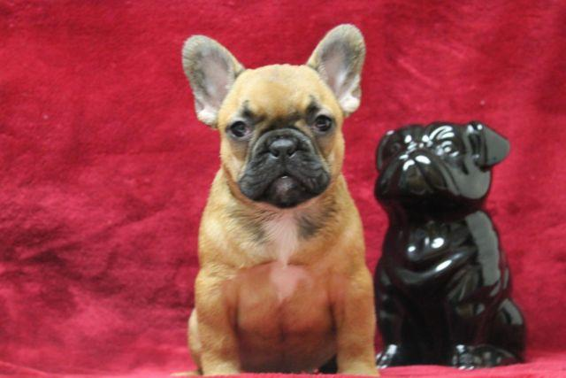 Beautiful French Bulldog- Terra- Cotta
