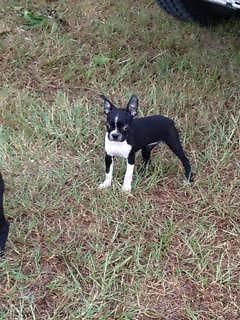 Cute CKC Boston Terrier -Born 06/13/2014