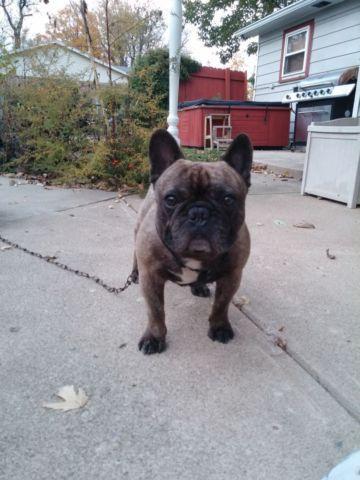 Frenchton French bulldog 3/4 boston terrier 1/8th pug 1/8th puppies