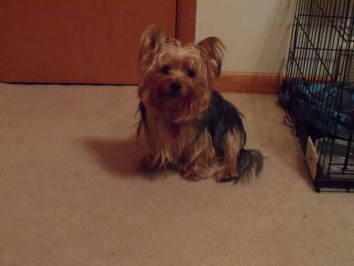 AKC Yorkshire Terrier