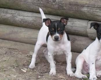 rat terrier price toy rat terrier for sale in normalville pennsylvania classified hoodbiz org 1065
