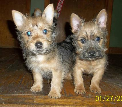 Carkie Puppies - Yorkshire Terrier/Cairn Terrier Mix for Sale in