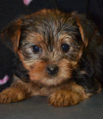 Tiny Teacup Yorkshire Terrier Male