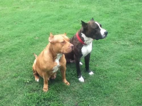 ABDA American Pitbull Terrier Puppies