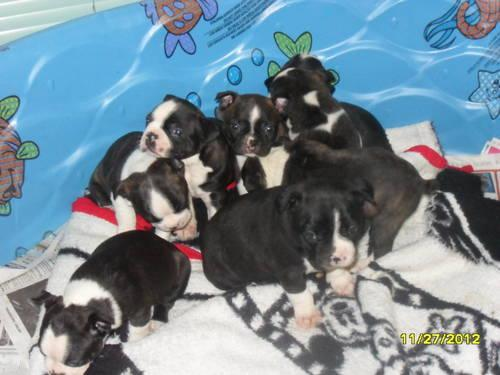APRI Boston Terrier Puppies