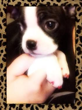 Cute Akc Boston Terrier Puppies For Sale In Thornville Ohio