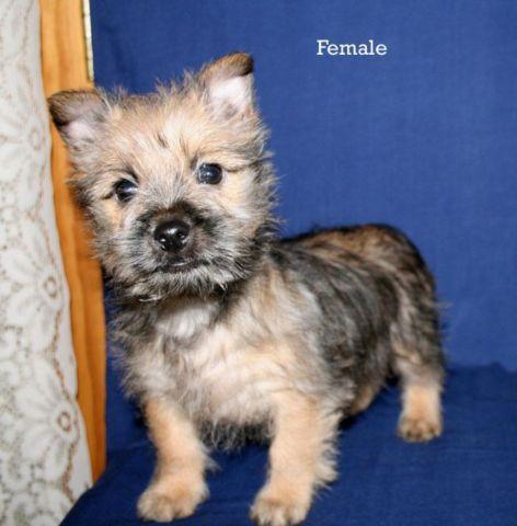Adorable Cairn Terrier Puppies for Sale in Uncasville