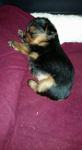 ACA Yorkshire Terrier Puppies