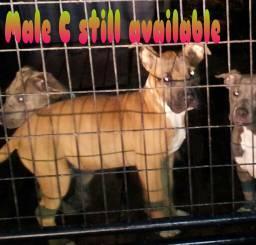 ukc american pitbull terrier puppy