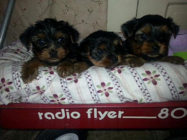 AKC YORKSHIRE TERRIER PUPS