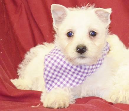 West Highland white terrier, Westie puppies