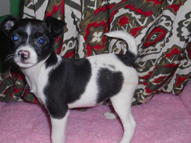 Adorable & Snuggly Female Rat Terriers-Includes a Puppy Kit