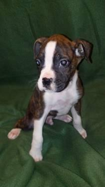 AKC BOXER PUPPIES ( smarter than my honor student)
