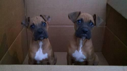 AKC BOXER PUPPIES ( smarter than your honor student)