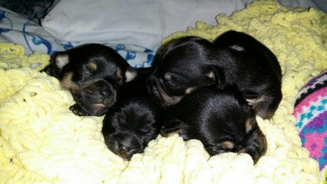 Chihuahua puppies ready to go the first of December!
