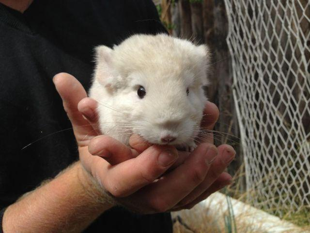 4 CUTEST BABY CHINCHILLAS in the whole world =^_^=