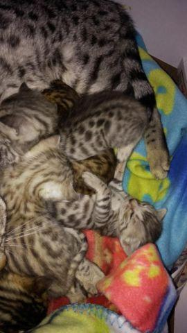 Silver &Brown Spotted TICA bengal kittens