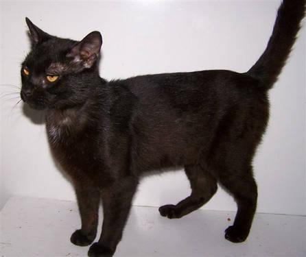Domestic Short Hair - Black - Tinkerbell - Small - Young