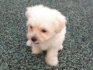 Maltese Male Tiny