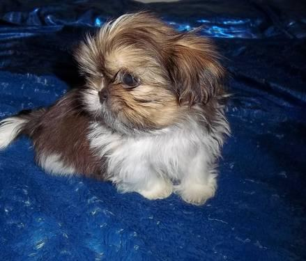 Imperial Shihtzu Puppy Males Ready to go 8 weeks old