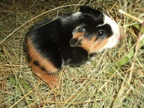 Baby Guinea pig!! Ready to go now:)
