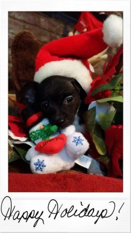 Chihuahua puppy ready to go today.