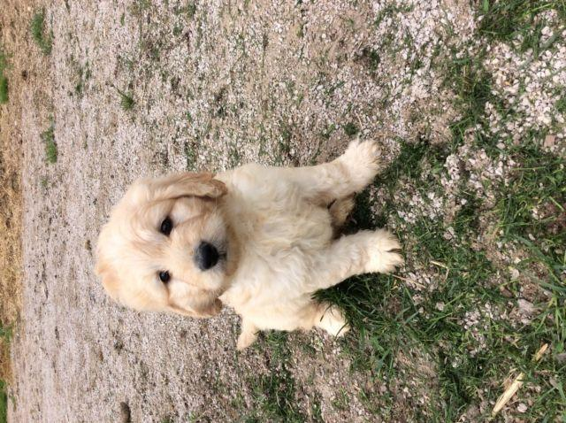 Standard size Goldendoodles/Mini to petite goldendoodles for Sale in