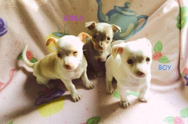3 Apple Head Boy Toy Akc Chihuahua Puppies For Sale In Grand Prairie