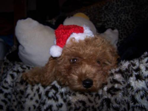 looking for female toy poodle