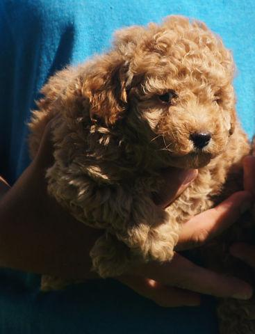 adorable Male toy Poodle