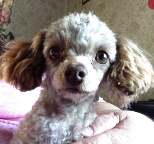 Tiny Female Toy Poodle