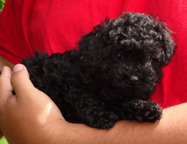 Sweet male toy poodle