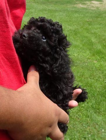 lovely female toy Poodle