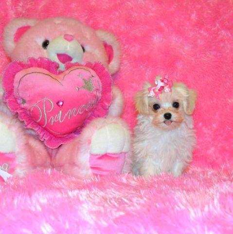 Tiny and Teacup Maltipoo Puppies! Maltese Toy Poodle, $500