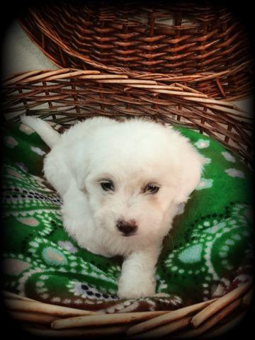1/2 Maltese 1/2 Toy Poodle puppies