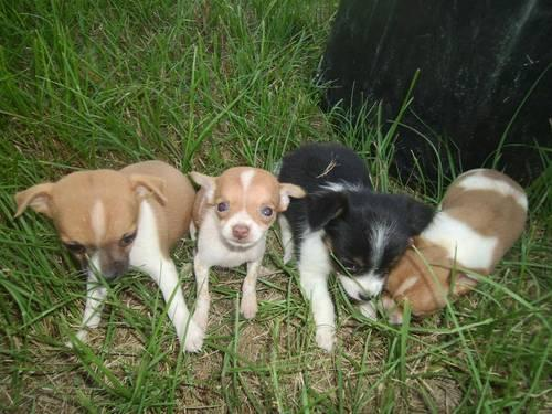 9 week old female toy rat terrier-registered