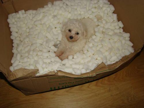 BICHON/POO GORGEOUS SMALL TOYS $300.00 plus