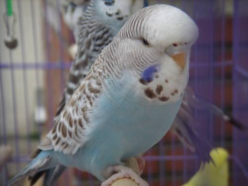 English Budgies (Trade?)