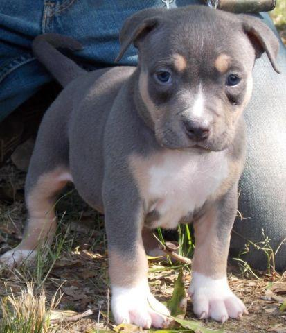 PR UKC REGISTERED BLUE TRI AMERICAN PITBULL PUPS
