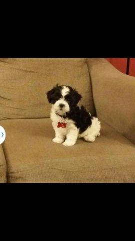 Teddy Bear Puppies Shih Tzu Bichon Frise Mix For Sale In