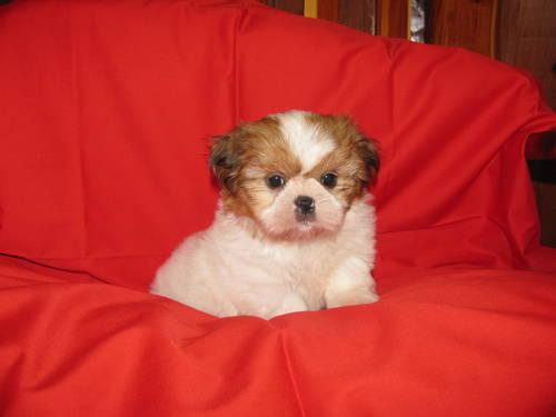 Adorable Female Yorkie,Imperial Shih Tzu and Female Malti-Poo