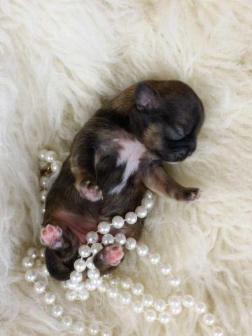 100% Purebred Shih Tzu Female puppy!!!