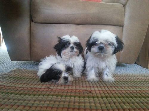 CKC Shih Tzu Puppies