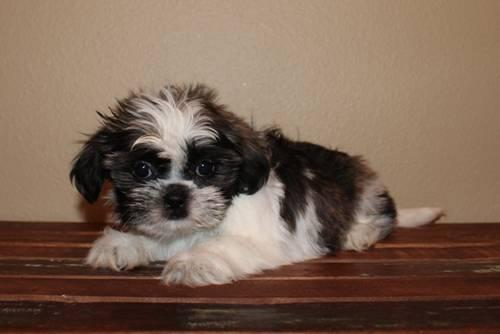 Adorable Shih Tzu Puppies! for Sale in Andover, Minnesota