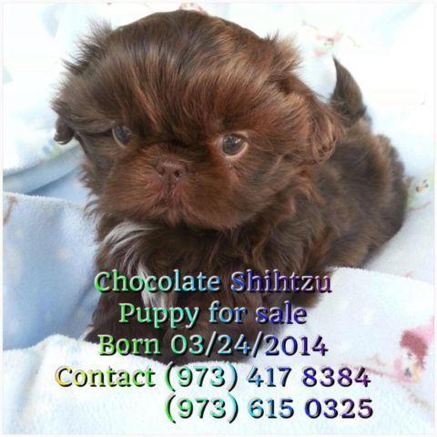 full breed shih tzu puppies for Sale in Newark, New Jersey