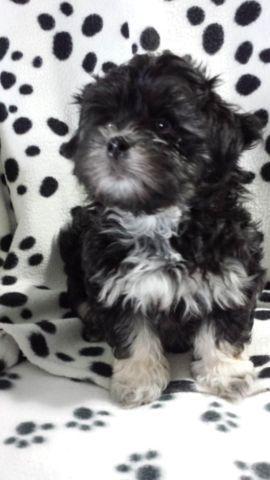 cute maltese/shih tzu puppies