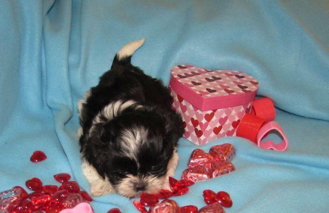 Ckc Shih Tzu Puppies For Sale In Lapel Indiana Classified Hoodbizorg