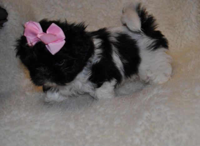 Akc Shih Tzu Puppies For Sale In Aberdeen North Carolina