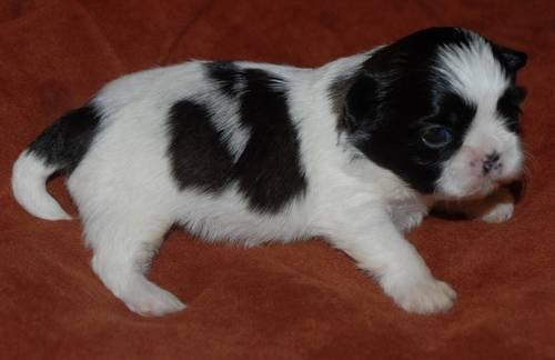 AKC Teacup & Imperial shih tzu puppies for sale