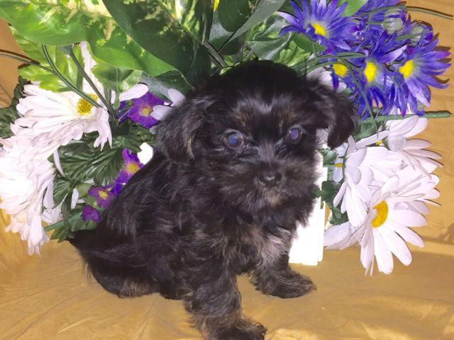 Adorable Shih Tzu Puppy For Sale In New Albany Indiana Classified